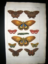Albertus Seba C1750 Folio Hand Coloured Antique Print. Butterflies & Moths 16